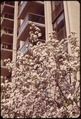 CRAB APPLE IN FULL BLOOM AT FIFTH AVENUE AND 79TH STREET IN MIDTOWN MANHATTAN - NARA - 551740.tif
