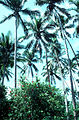 CSIRO ScienceImage 2307 Palm Trees.jpg