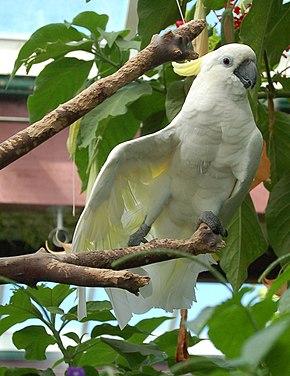 https://upload.wikimedia.org/wikipedia/commons/thumb/0/01/Cacatua_galerita_-Victoria_Butterfly_Gardens-8a.jpg/290px-Cacatua_galerita_-Victoria_Butterfly_Gardens-8a.jpg