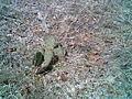 Cactus at Gus Engeling WMA.jpg