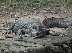 Caiman latirostris from Bannerghatta National Park 8610.JPG