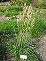 Calamagrostis epigejos - Oslo botanical garden - IMG 8901.jpg