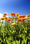 Calendula officinalis and sky.jpg