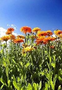 Calendula officinalis and sky.jpg