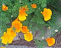 California Poppies in Scotia, CA.jpg