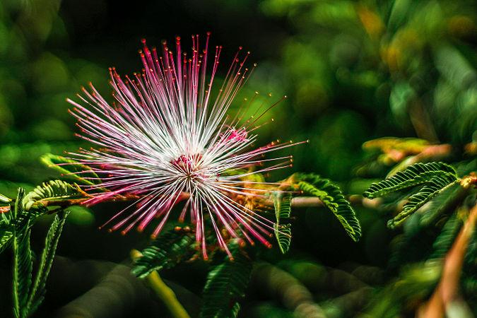 Calliandra brevipes.jpg