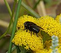Calliphoridae . Pollenia amentaria. Black-bellied Cluster Fly (35377399933).jpg