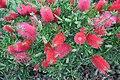 Callistemon macropunctatus Scarlet Bottlebrush მსხვილწერტილოვანი კალისტემონი.JPG