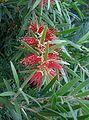 Callistemon viminalis DawsonRiver1.jpg