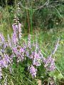 Calluna vulgaris sl1.jpg