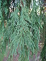 Calocedrus decurrens needles 01 by Line1.jpg