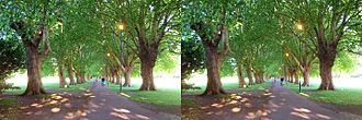 Platanus × acerifolia - Avenue of London plane trees on Jesus Green