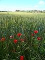 Camp de blat amb roselles.jpg
