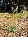 Campanula rotundifolia sl15.jpg