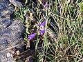 Campanula rotundifolia subsp. willkommii Habitus 2010-7-17 SierraNevada.jpg