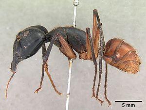 Präparierter Camponotus gigas -Major