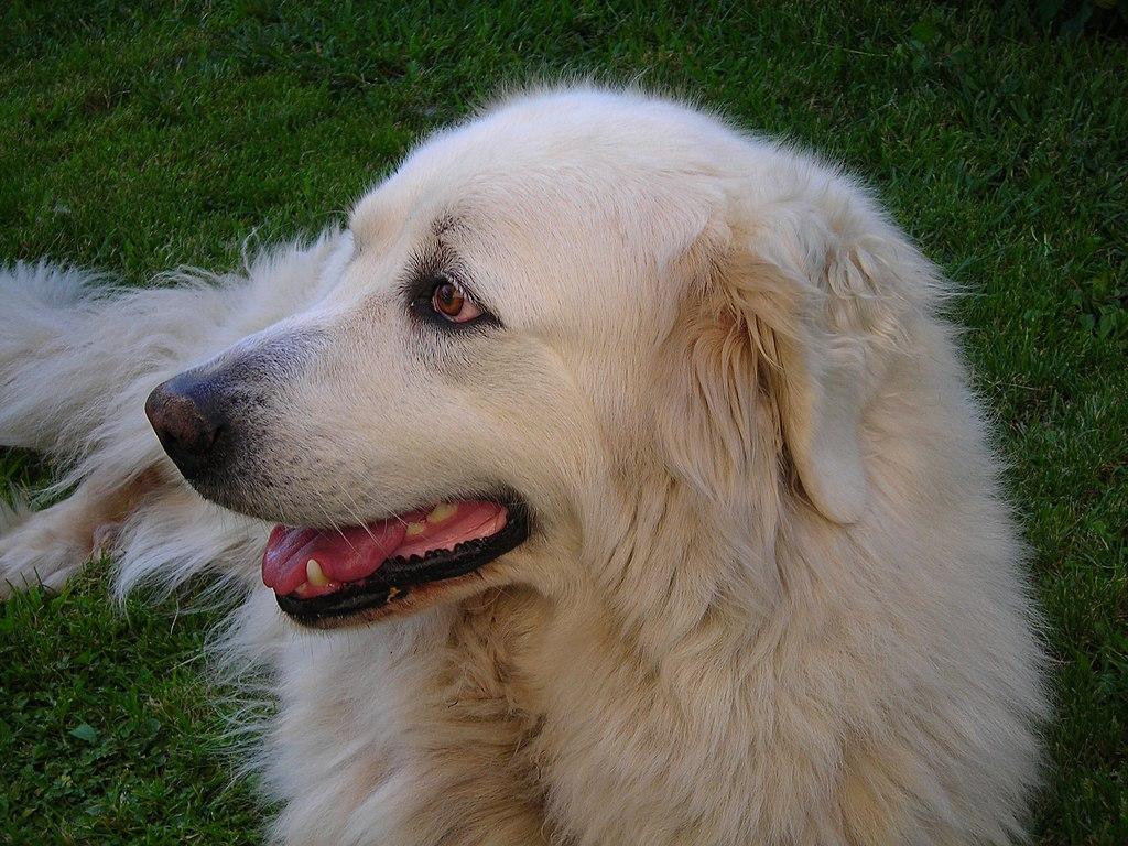 raza de perros gran pirineo