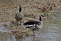Canada Geese (Branta canadensis) - London, Ontario.jpg