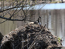 A Canada goose nesting on top of a beaver lodge