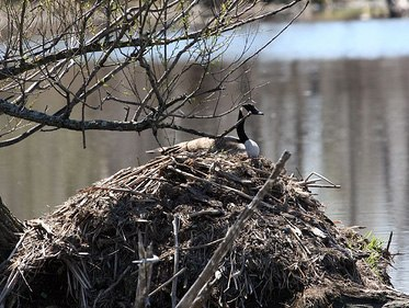 Canada Geese Nesting on Beaver Lodge, Crawford County, PA 1960