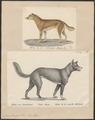 Canis dingo - 1700-1880 - Print - Iconographia Zoologica - Special Collections University of Amsterdam - UBA01 IZ22200407.tif