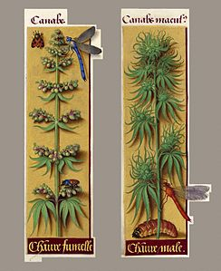 Cannabis sativa, male and female, 1505-1508