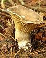 Cantharellus cibarius in the Appalachians.jpg