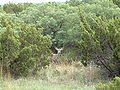 Caprock Canyons Mule Deer 2005.jpg