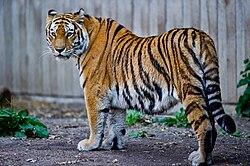 Tigre de Sibérie (Panthera tigris altaica) au zoo de Copenhague