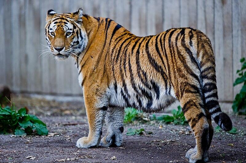 TIGRE DE SIBERIE 800px-Captive_Siberian_tiger_-_Copenhagen_Zoo%2C_Denmark