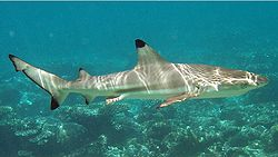 Side view of a brown shark with black fin tips, swimming over rocks in shallow water