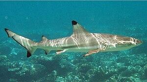 Blacktip reef shark - Image: Carcharhinus melanopterus mirihi