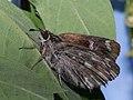 Carcharodus floccifera - Tufted marbled skipper - Толстоголовка шандровая (27131148978).jpg