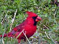 Cardinal - Male with Sunflower Seed (12386604).jpg