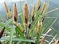 Carex acutiformis inflorescens (24).jpg