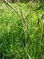 Carex acutiformis inflorescens (58).jpg