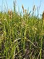 Carex tomentosa sl8.jpg