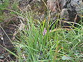 Carex vaginata3.JPG