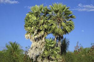 Carnauba wax - Carnauba palm