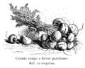 Carotte rouge à forcer parisienne Vilmorin-Andrieux 1904.png