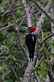Carpintero Lineado, Lineated Woodpecker, Dryocopus lineatus (11915732076).jpg