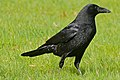 Carrion Crow (Corvus corone) (25657205900).jpg