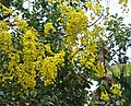 Cassia fistula flowers 10.jpg