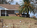 Cattle displaced by Hurricane Ike gather under a tree in Texas.jpg