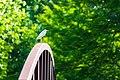 Cattle egret (39804136940).jpg