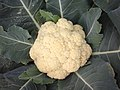Cauliflower 2 bd-c.jpg