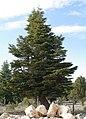 Cedrus libani - Lebanon cedar 02.jpg