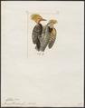 Celeus flavescens - 1820-1860 - Print - Iconographia Zoologica - Special Collections University of Amsterdam - UBA01 IZ18700301.tif