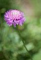 """Centaurea """"Sweet Sultan"""" (4946948074).jpg"""