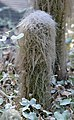 Cephalocereus senilis Cacti.JPG